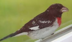 Male rose-breasted Grosbeak. He gets a seed from the hanging feeder, then brings it to the window sill to eat it.