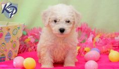 Puppy Finder: Find & Buy a Dog today by using our Petfinder Bichon Puppies For Sale, Dogs And Puppies, Puppy Finder, Buy A Dog, Bichon Frise, Healthy Choices, Teddy Bear, Toys, Animals