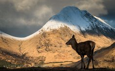 Matthew Cattell Landscape Photographer of the Year posted a photo:  A young red deer glazing on lower slopes of Glen Etive, Scotland with a snow-cloaked Stob Dubh in the distance.  The photograph was exposed for the brightness of the background, rendering the deer in semi-silhouette.