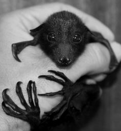 Flying Fox baby - The attitude that all bats have rabies is what is leading to their extermination and possible extinction. Bats, including Flying Foxes, have an important place in our ecosystem. They eat insects and help pollinate many types of plants. For more information, check out Bat World Sanctuary's website.