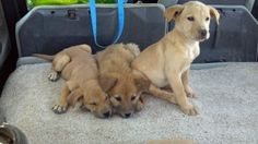 Cinammon is an adoptable Golden Retriever Dog in Tucson, AZ. Cinammon and his sisters, Bear Bear and Heidi where born at an abandoned salvage yard. A photo of their mom is attached, but their dad is v...