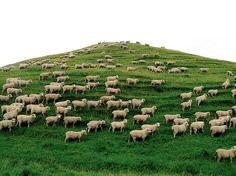Sheep dot the New Zealand  Landscape