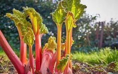 Eight pink rhubarb stalks are just beginning to emerge from the ground in the spring, topped with small, wrinkled, yellow-green leaves, with a white sky and trees in the distance.