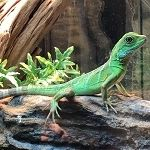 Cute little baby water dragon just chilling out on his rock at Reptile Rapture. Chameleons For Sale, Lizards For Sale, Rabbit Cages, Cute Little Baby, Little Babies, Reptile Store, Chinese Water Dragon, Terrarium Reptile, Les Reptiles