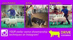 Swine Showmanship Tips - DRIVE Livestock