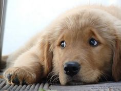 Golden Retrievers are the cutest puppies!!!!!!!!!