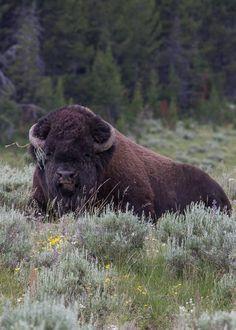 funkysafari:  Bison bull at Pelican Valley Yellowstone National...