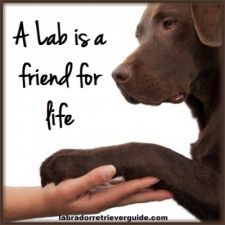 a lab is a friend for life! Lab are the most loyal dogs ever!unfortunately I had to put my chocolate lab down last week!chocolate labs are fantastic dogs and I don't know what I would have done without mine I love him soo much and miss him sooo much