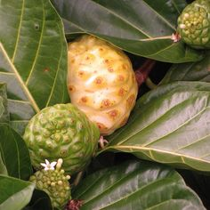 This fruit is another strange looking specimen. A ripe noni fruit is a yellowish white color and the exterior is covered in brown circular spots. Although noni fruits are known for their health benefits, they smell bad and they don't taste much better.   - Delish.com