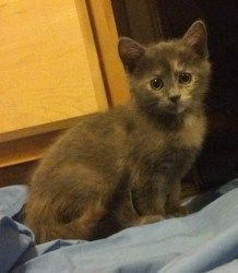 Kammie is an adoptable Domestic Short Hair-Gray Cat in Niles, IL. Kara, Kammie, Kain, and Kalvin are about 8 weeks old on 06.16.13 and came from a loving family. They have been spending the last few w...