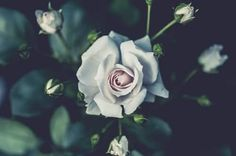 White Rose Wallpaper is the simple gallery website for all best pictures wallpaper desktop. Wait, not onlyWhite Rose Wallpaper you can meet more wallpapers in with high-definition contents.