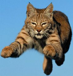 Bobcat (Lynx rufus - 13 subspecies) are found throughout the U.S. and Mexico. (Also in southern Canada.) -kc