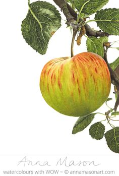 """Apple James Grieve 4 August © 2007 ~ annamasonart.com ~ 31 x 41 cm (12"""" x 16"""")"""