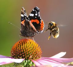 A bumble bee versus a Red Admiral Butterfly.....who wins.....you decide! Great #wildlife photo