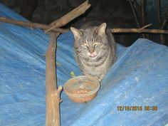 Darling finally came right into the colony deciding her best vantage point would be on the highest part of the tarp, so I put a dish of food there and sure enough, she started to eat ! Feral Cats, Pretty Good, Humane Society, Fundraising, Dish, Kitty, Eat, Animals, Food