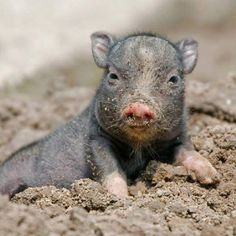 Tiergarten Delitzsch has a new mud-loving favorite: a fist-sized Pot-bellied Piglet. Born in late May, the piglet, whose sex is not yet determined, was the only one out of five to survive birth complications. Fortunately, the mother is doing well. Pet Pigs, Baby Pigs, Animals And Pets, Baby Animals, Cute Animals, Pot Belly Pigs, Teacup Pigs, Mini Pigs, Cute Piggies