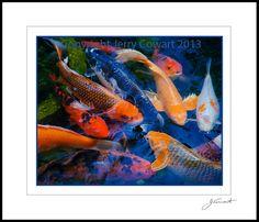 dezinerPhotography Coy fish Fine art photograph by PhotosbyJerryCowart, $27.50