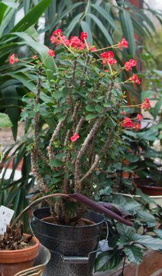 Piikkikruunun hoito ja lisäys | Meillä kotona Plants, Planters, Plant