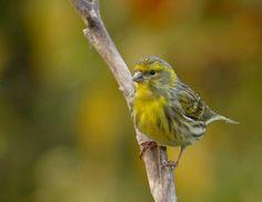 O xirín común (Serinus serinus), chamado xirín ou nabiñeiro.  É un parente próximo ao canario. As crías son moi diferente dos adultos, xa que as primeiras non teñen plumaxe amarela. Aliméntanse de sementes e algúns invertebrados.