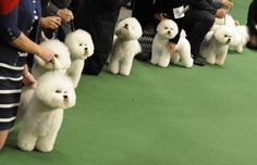 Bichon Frises line up to be judged during the 136th Westminster Kennel Club Annual Dog Show held at Madison Square Garden in New York City on February 13, 2012.