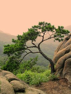 Bonsai styling inspiration Korean Pine