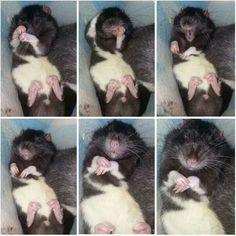 Muggle - Rat Fan Club