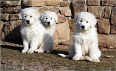 The Maremma Sheepdog, or the Maremmano-Abruzzese as scholars who have researched the origins of the breed refer to the dog is a breed of liv. Maremma Dog, Maremma Sheepdog, Baby Puppies, Cute Puppies, Dogs And Puppies, Doggies, Cute Baby Animals, Animals And Pets, Great Pyrenees Dog