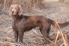 WE HAVE to have one!!! Long haired weim!