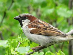 pardal (passer domesticus) Brazilian Birds