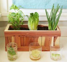 Indoor Vegetable Gardening Here's How To Turn Your Vegetable Scraps Into Vegetables Again (how to grow vegetales) - Lettuce butts never looked so good.