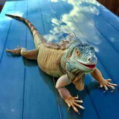 #ontheclouds #bulutlarınüstünde ☁️ ☁️ #iguana #animallovers #iguanalovers #iguanasofinstagram #iguanamom #mypet #reflection