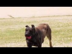 K9 Zed, Dutch Shepherd playing and practicing with the Panasonic HCX1