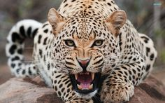 Snow Leopard HD Wallpapers  Backgrounds  Wallpaper  1920×1200 Leopard Wallpaper (42 Wallpapers) | Adorable Wallpapers