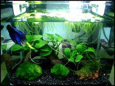 25 Cool Betta Fish Tank Ideas That Will Inspire You - meowlogy Aquarium Aquascape, Betta Aquarium, Planted Aquarium, Aquascaping, Planted Betta Tank, Aquarium Terrarium, Mini Aquarium, Home Aquarium, Aquarium Design