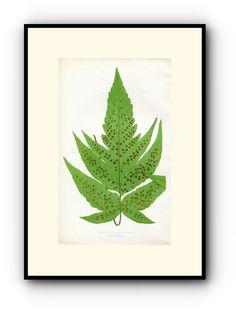 Edward Joseph Lowe Fern (Aspidium Macrophyllum) Antique Botanical Print, 1857 Wood Block Engraving, Book Plate by TheOldMapShop on Etsy