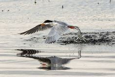 Tern Fishing in Lower Klamath Lake (1 of 1) by jackwills - Image Of The Month…
