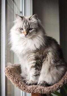 Kitten Love, I Love Cats, Cool Cats, Pretty Cats, Beautiful Cats, Cute Cats And Kittens, Kittens Cutest, Crazy Cat Lady, Crazy Cats