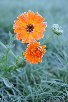 #frost #flower #orange #cold #Norway #Autumn (C) 2017 Sousa & Neshaug Photography - http://sousaneshaug.com