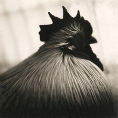 rooster, platinum/palladium print by David Johndrow,2005