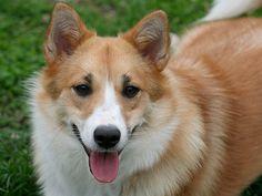 Conheça a raça Cão da Islândia - Crédito: http://www.flickr.com/photos/25499331@N03/