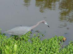 Blue Heron, Pelican Bay, Naples, Florida