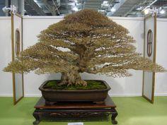 ~ Amazing Bonsai Tree ~
