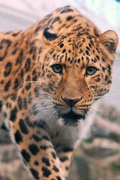 leopard or jaguar, I still can't tell the difference from mostly the head Jaguar, Nature Animals, Baby Animals, Cute Animals, Wild Animals, Beautiful Cats, Animals Beautiful, Lynx Du Canada, Big Cats