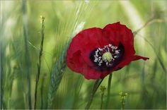 Wilder Mohn Makroaufnahme - Tanja Riedel Mohnblumen haben eine magische Anziehungskraft, das leuchtende rot in den Getreidefeldern zieht unsere Blicke an. Dieser Wilde Mohn steht in herrlichem Licht warme weiche grün Töne schmeicheln der roten Blüte und lassen sie voll zur Geltung kommen. Ein Bild das so natürlich ist als stände man selbst vor ihr.