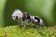 Formiga-Panda - Deus adora fazer zueira, mas uma formiga-Panda?!?! Francamente Deus… Mas vamos lá: A formiga panda é uma vespa sem asas com uma picada dolorida, encontrada no Chile. Normalmente, também são conhecidas pelo nome de formiga veludo, por terem uma grande quantidade de pelos.   - strange-animals-you-didnt-know-2-11