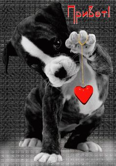 Boston Terrier, Dogs, Movies, Movie Posters, Animals, Art, Nighty Night, Frases, Buen Dia