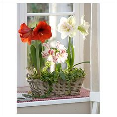 Love Amaryllis! Can hardly wait to get these started for the holidays!