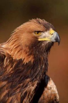 Golden Eagle. Wildlife and Nature Pictures.  FB
