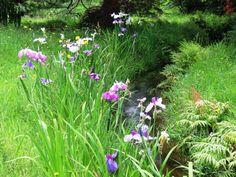 higo irises in the Jury Garden