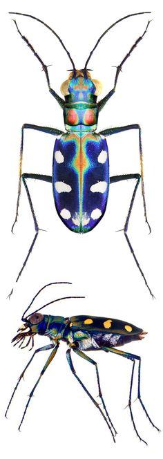 Cicindela (Cosmodela) aurulenta